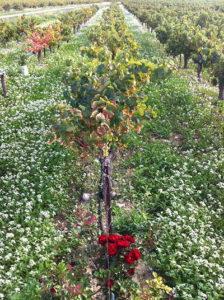 Le repos des vignes après les vendanges ⋆